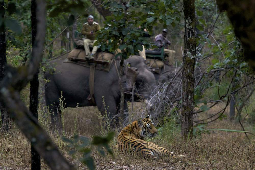 A park ranger monitoring a tiger cub(Panthera tigris tigris) from atop of a elephant inside of Bandhavgarh Natl Park. Tigers within the park are heavily managed; park rangers track their whereabouts to try to keep both tigers and people safe. Despite millions of dollars spent on tiger conservation over the last four decades, tiger numbers continue to plummet. Less than 3,200 tigers remain in the wild, down from 100,000 a century ago; during that time, three of the nine tiger subspecies went extinct (the Bali, Caspian and Java tiger). Tigers now live in small, isolated pockets. Skyrocketing human populations in Asia have eliminated 93 percent of tiger's historic range during the 20th century, with human settlements, roads, industry and agriculture encroaching on tiger territory, sparking growing human-wildlife conflict. In the early 1990s, the demand for tiger parts for use in traditional Chinese medicine grew exponentially, fueling an illicit, multimillion dollar trade run by international arms and drug dealers. The situation has grown so dire that Thailand, India, and other nations have dispatched armed commandos to protect tiger reserves. I shot this story in three countries, Thailand, Indonesia (Sumatra) and India, trying to document the beauty of the tiger, the serious threats they face, and heroic efforts to protect them.