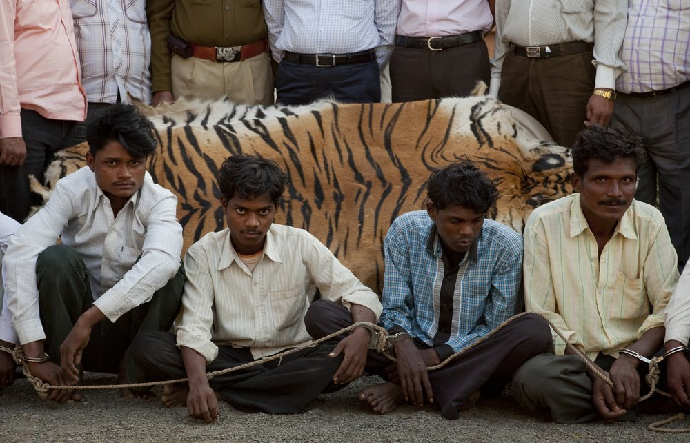 """Poachers who were caught trying to sell a fresh tiger skin near Chandrapur.  Dr. Manoj Kumar Sharma with his Police team.  Mr. Ankush Pimpare (P.S), Mr. Pramod Badakh (P.S.I), Mr. Vaibhav Kalubarme (SDPO).  Gadchandur Police Station holding the prisoners and police inspector Aslam Khan.   Quotes:  """"Most poaching is done locally by small time poachers who happen to kill tigers, not organized gangs that specifically target tigers and as a result try to sell them locally before internationally."""" """"When the big guys go down, there is always someone there to take their place""""."""