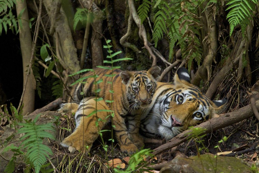 With proper protection and enough prey, tigers breed easily. This four year-old female returned to the cave in Bandhavgarh National Park where she was born to have her first litter. This part of the park has abundant prey and protection, so this tigress feels secure. She gave birth to three cubs; tigers under stress rarely birth more than one cub.