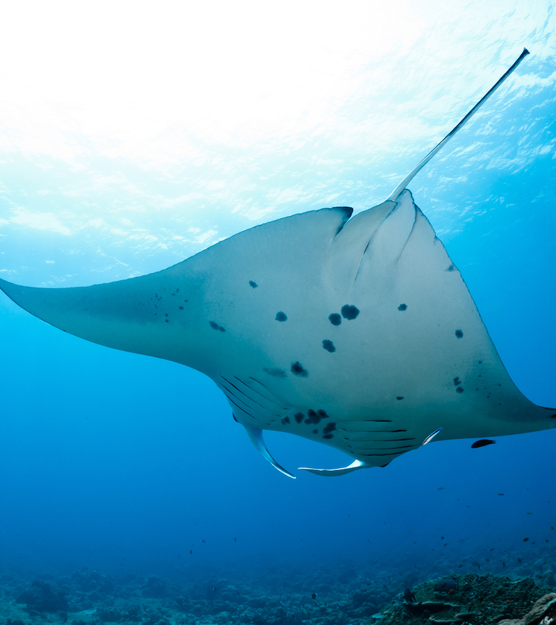 FASCINATING Manta Ray Facts By SEEtheWILD Wildlife