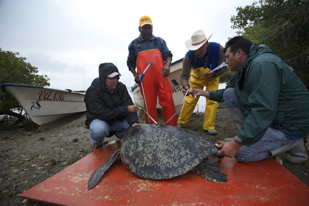 Jesus Salvador Lucero R. (Don Chuy), Jose Hernandez (Boat Captain with GT), Juan Manuel Rodriguez Boron (Research Coordinator with GT), and Andrea de Luca Motta (Research Coordinator with GT), work a black sea turtle caught in their monitoring net. Lopez Mateos, BCS, Mexico.
