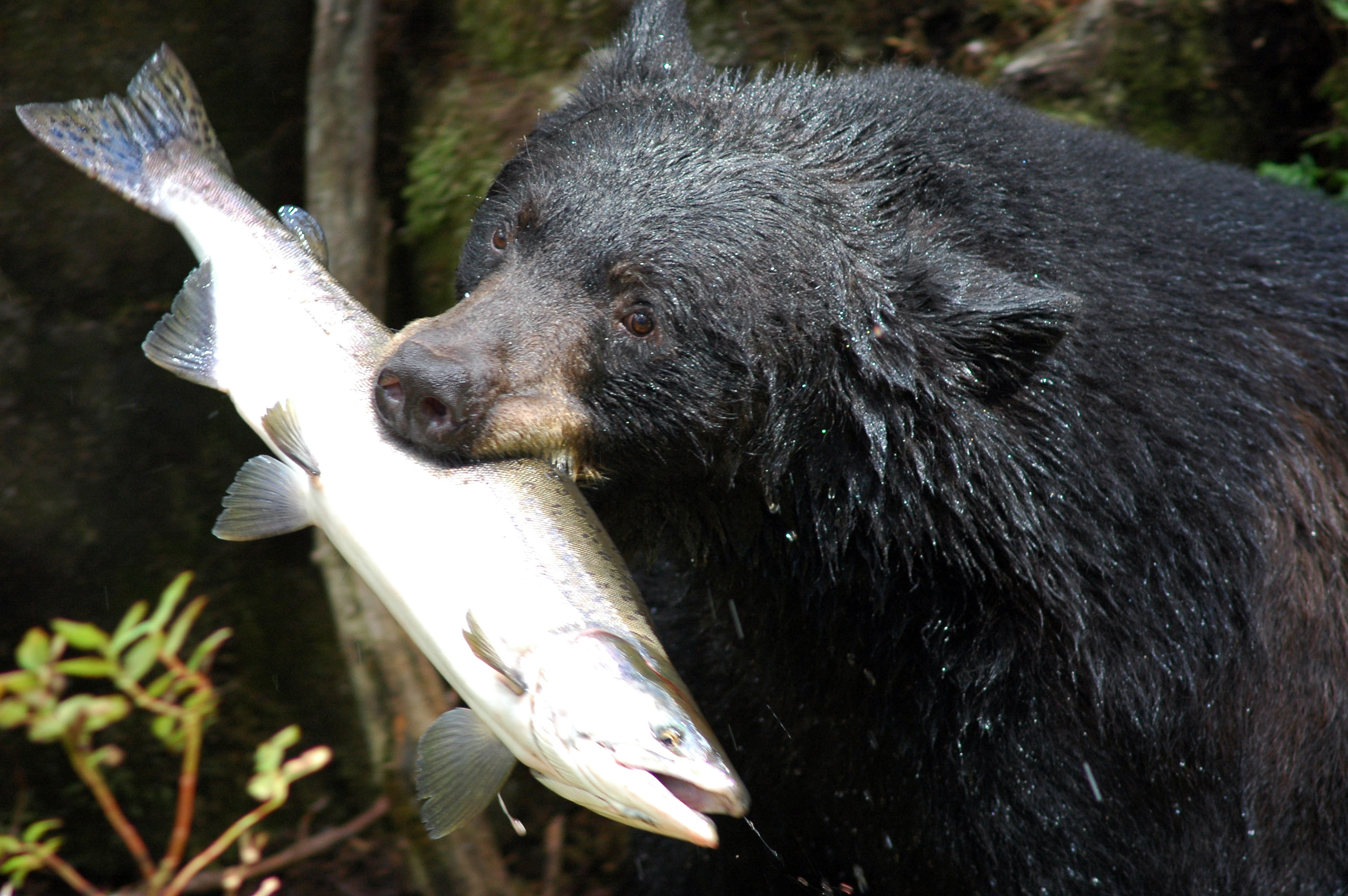 Black Bear Facts, History, Useful Information and Amazing Pictures