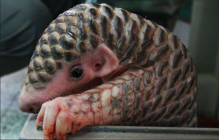 what are pangolins