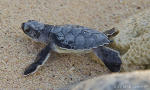 GREEN TURTLE HATCHLING. PHOTO BY CUBA MARINE RESEARCH & CONSERVATION
