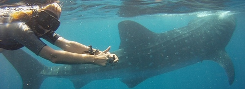 Image of Whale Shark in Mexico
