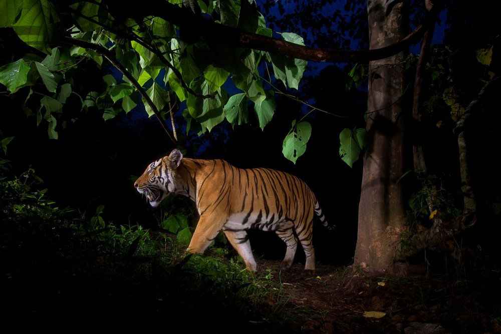 A camera trap captures an Indochinese tiger at dusk in Thailand's Hua Kha Khaeng Wildlife Sanctuary .