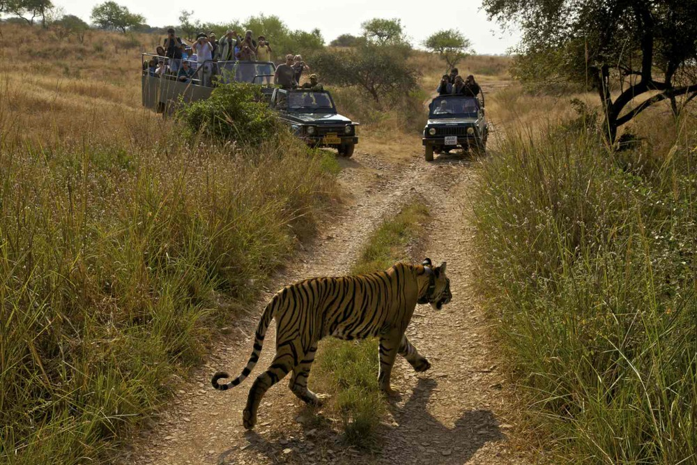 A Tigress moves through the tourist gypsies in Ranthanbhore National Park, India.Tourism money helps pay for the management of India's national parks and staff. Once tigers are spotted, all the tourist jeeps converge so the visitors can see them and take pictures