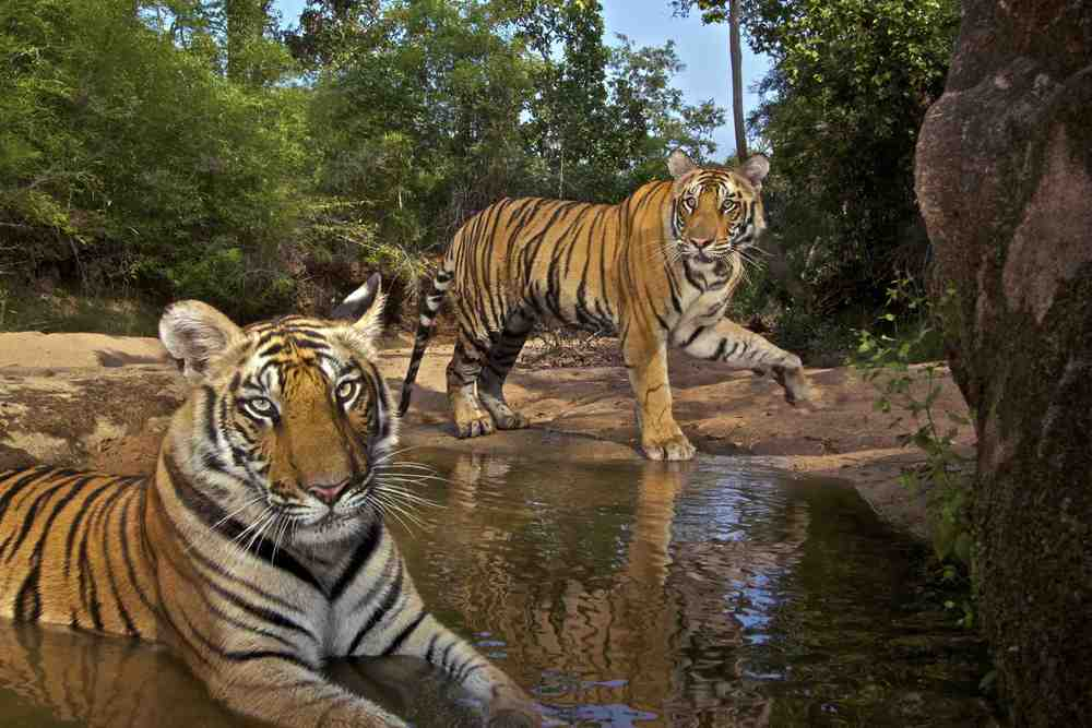 Eye Of The Tiger Seethewild Wildlife Conservation Travel
