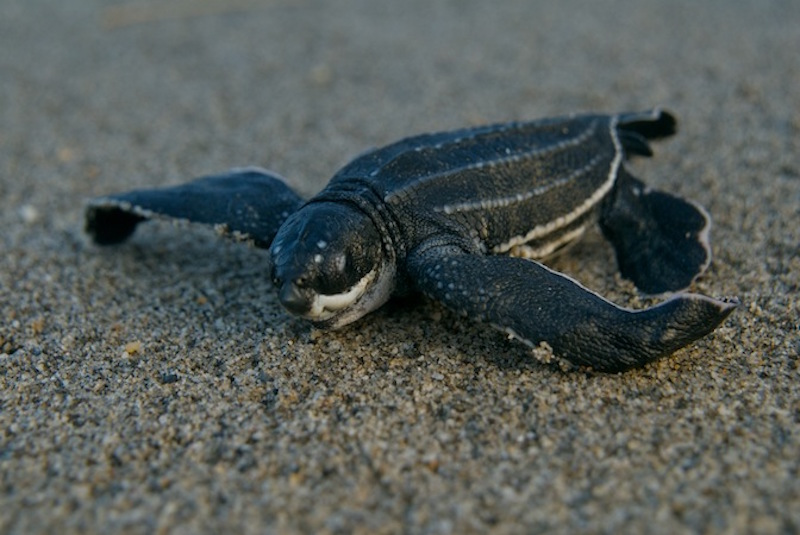 leatherback sea turtles facts by seethewild wildlife conservation