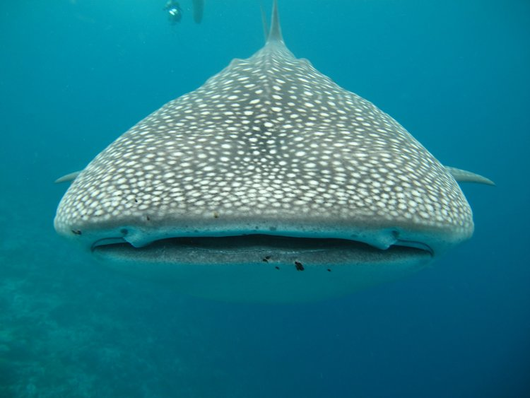 Image of Whale Shark in Baja, Mexico