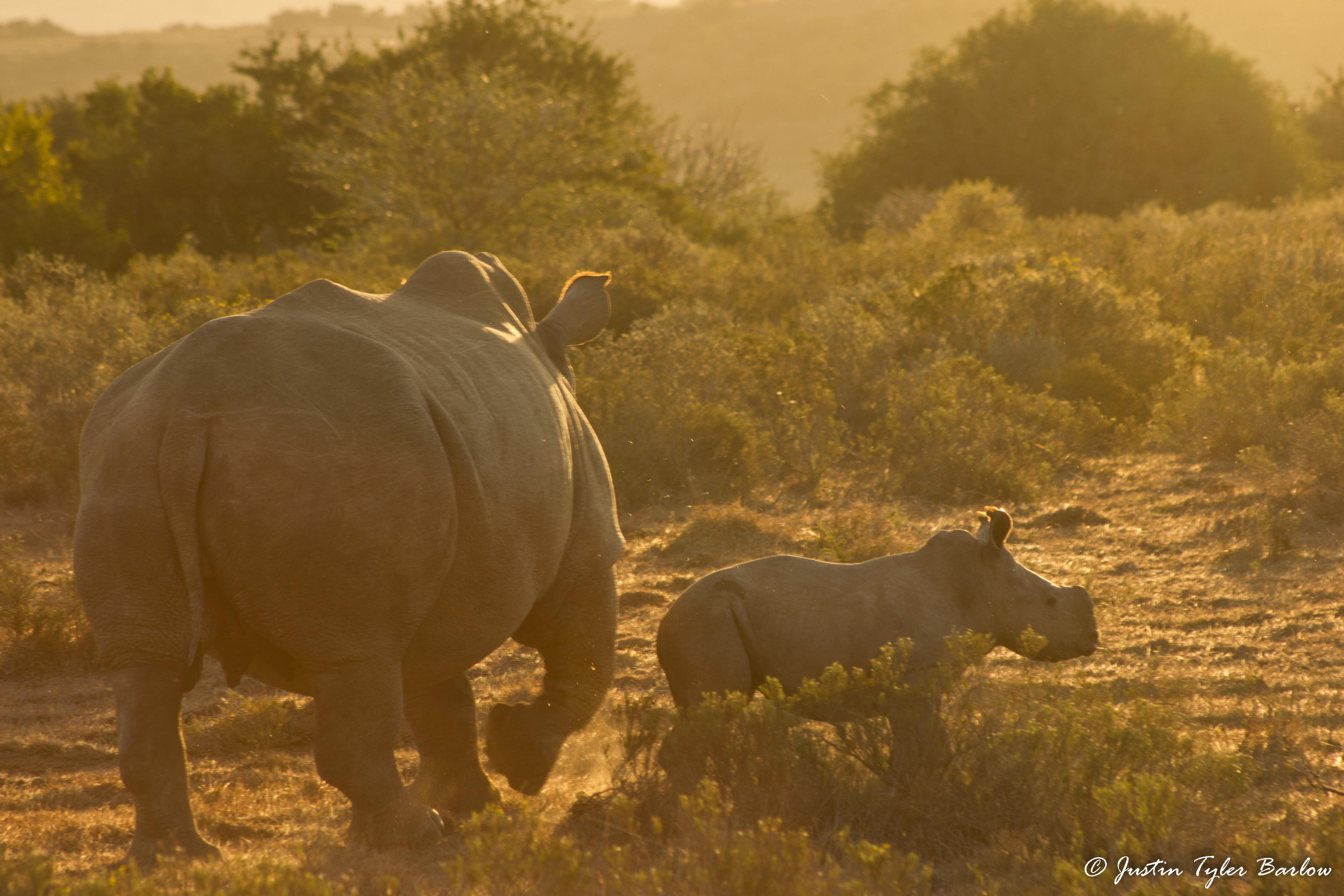 Rhinos in the wild