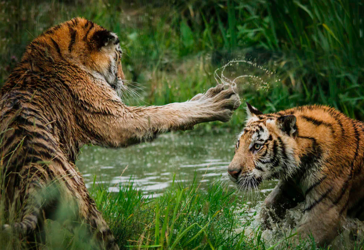 Tigers fighting