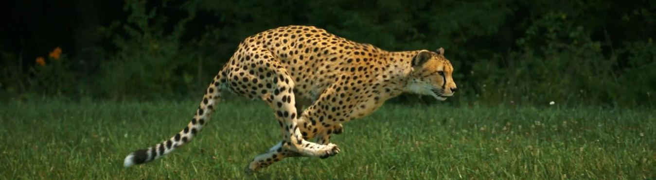 Cheetah Facts Seethewild Wildlife Conservation Travel