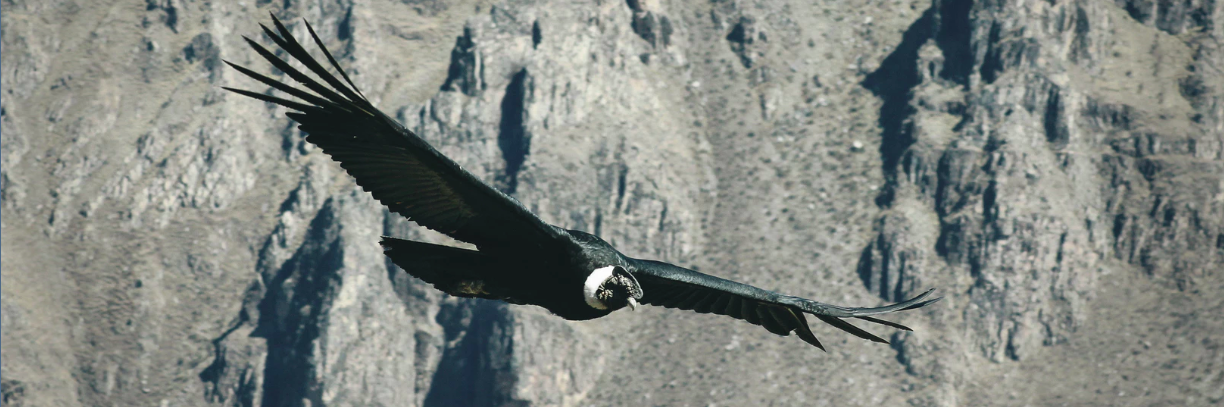 See an Andean Condor on a Wildlife Tour in Peru