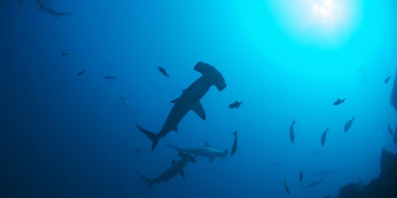Hammerhead Sharks near Revillagigedo Archipelago