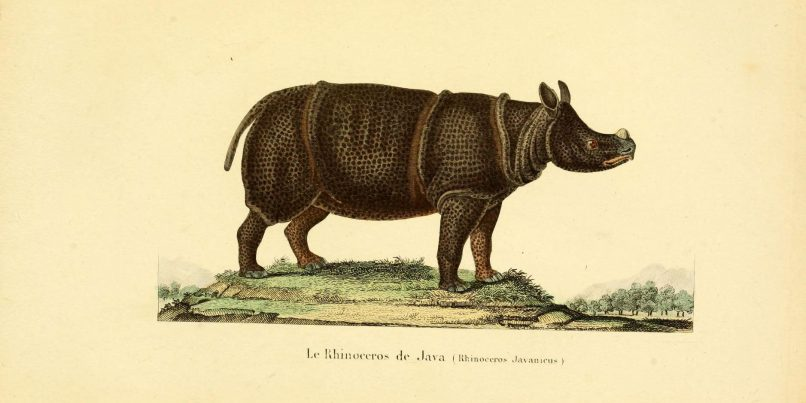 Illustration of Javan Rhinoceros