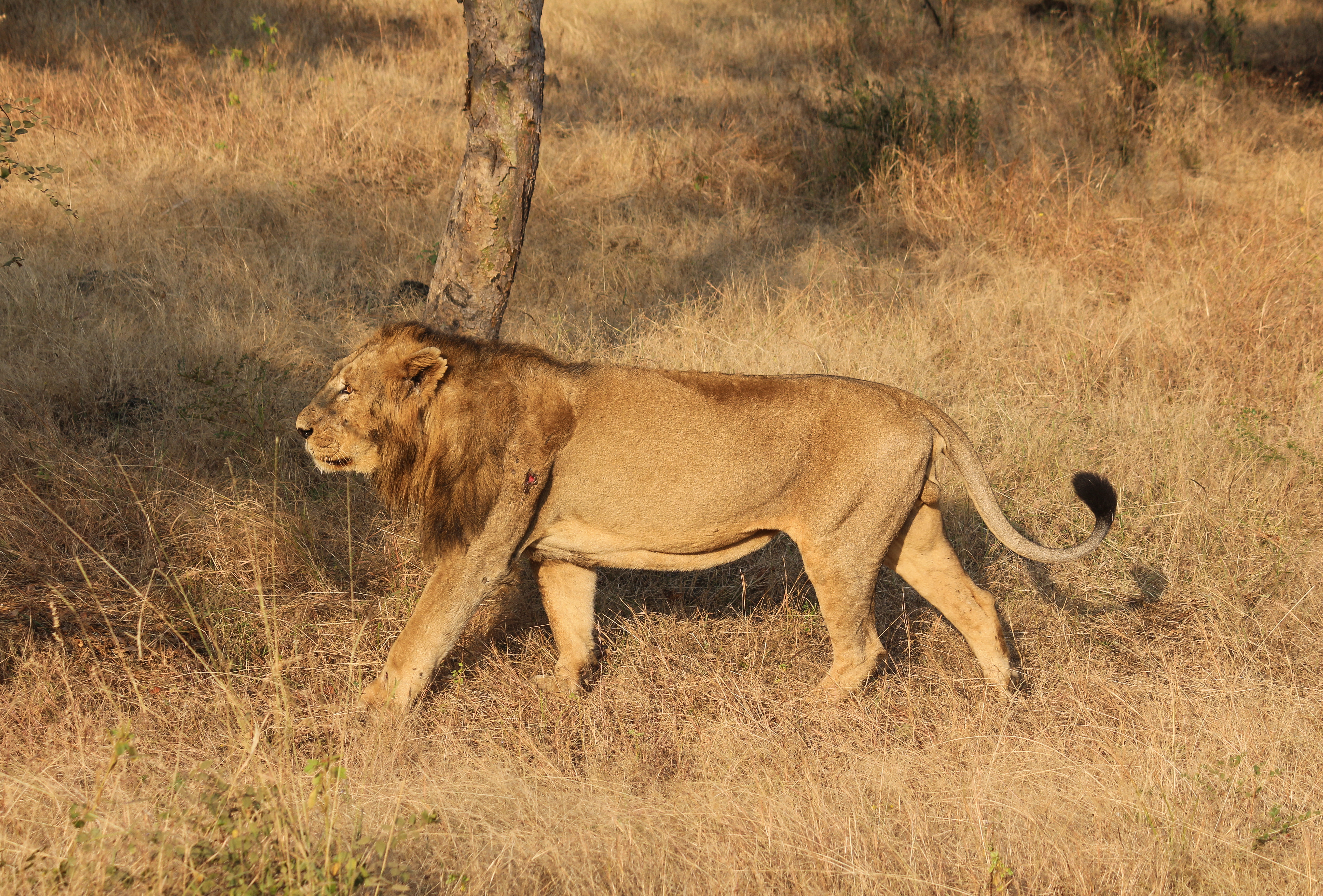 asiatic lions in gir forest