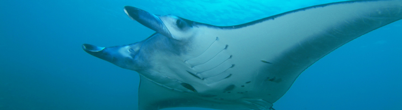 An underwater photo of the underside of a manta ray