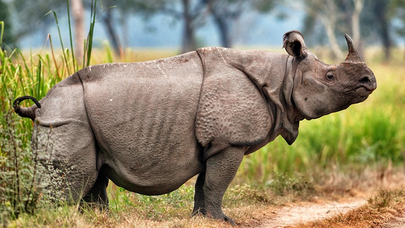 a Picture of a Javan Rhinoceros