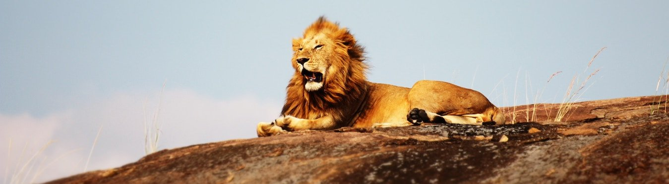 a photo of a lion resting on a rock