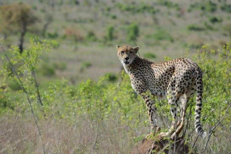 cheetah tour in South Africa