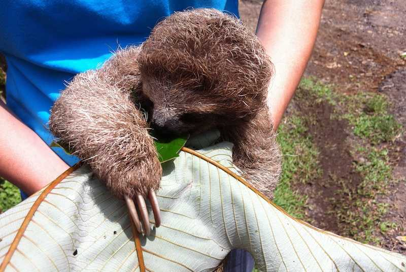 sloth at a wildlife rescue in costa rica