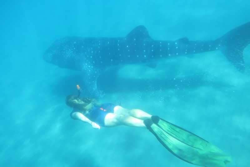 whale shark snorkelling in Mexico