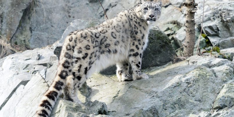 top snow leopard tours