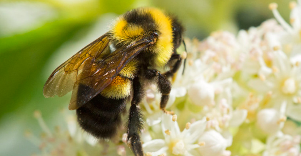 Image of Rusty-Patched Bumblebee