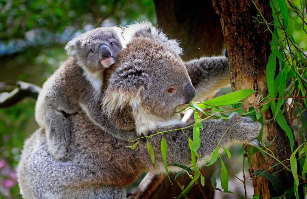 Baby koalas are called Joey's