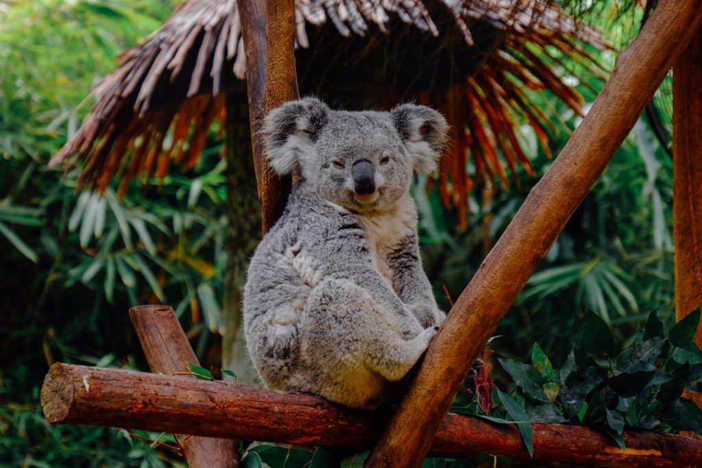 Facts about Koalas - they are often found in nooks of trees