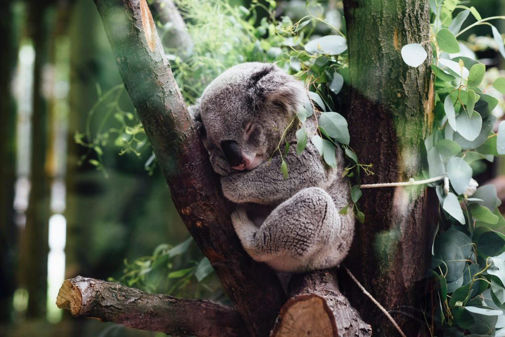 Koalas can sleep for 18 hours a day
