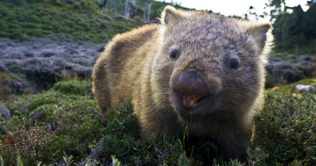 Picture of wombat in the wild