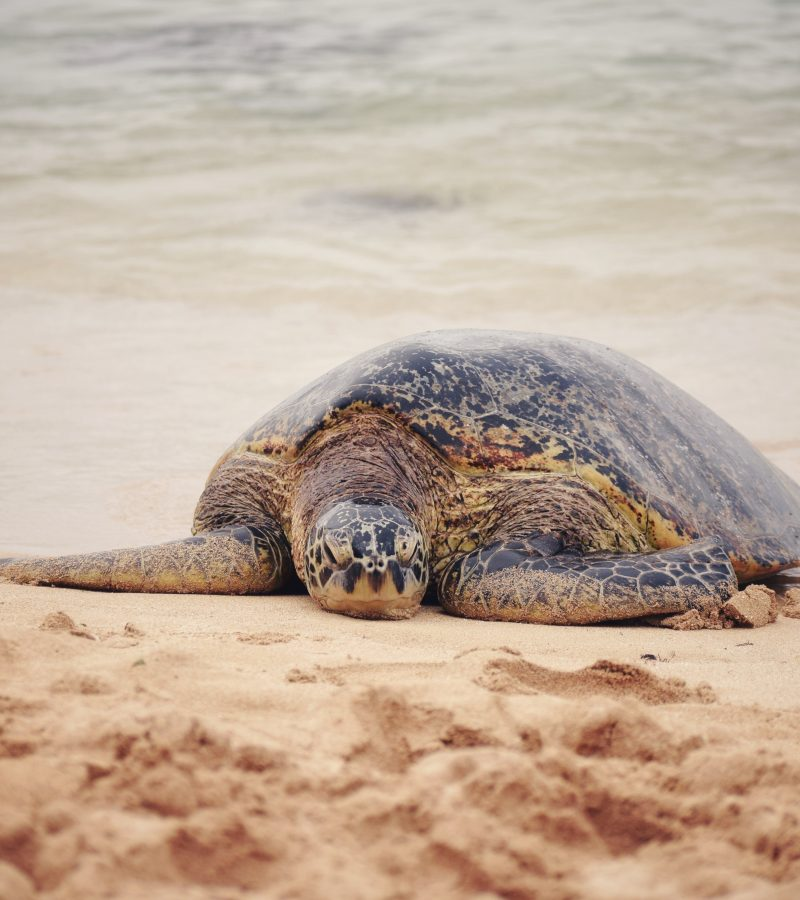 An Endangered Sea Turtle