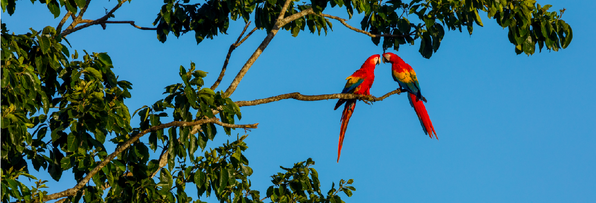 Scarlet Macaws on a Costa Rica Wildlife Holiday