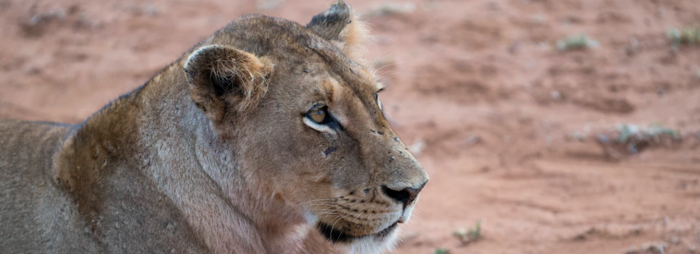 See a lion on a South Africa Wildlife Tour