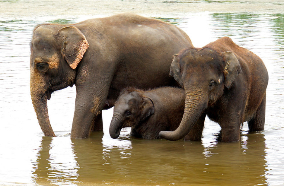 Asian elephant is critically endangered